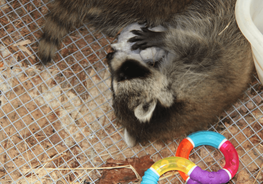 racoon with toy