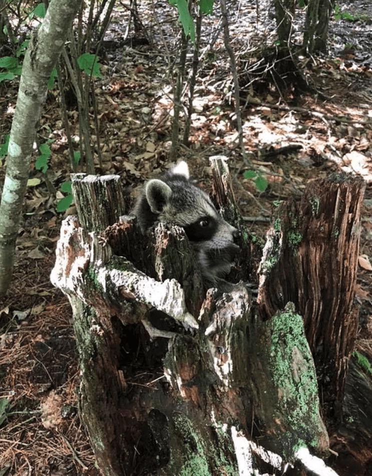 raccoon in tree stump