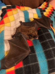 An overwintering big brown bat. So ferocious!