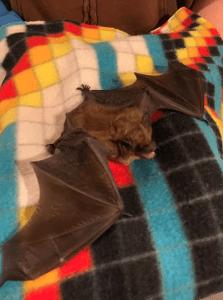 An overwintering big brown bat. So ferocious!