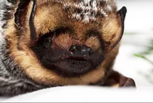 Hoary bat - Lasiurus cinereus