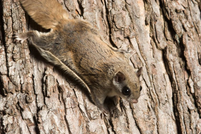 Northern flying squirrel