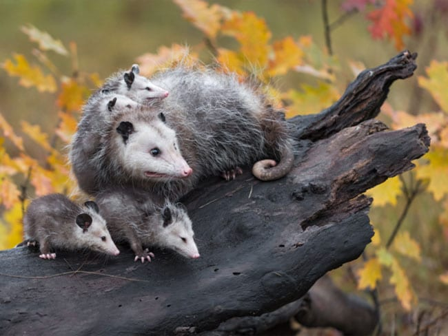 Mother Opossum and young